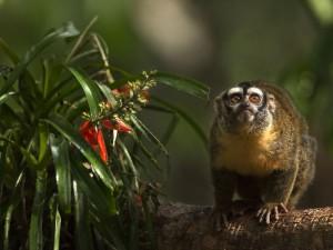 amazonia przygody małpki sai